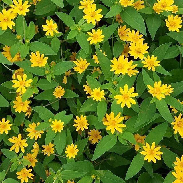 Bunga Seribu Bintang Atau Butterdaisy Berbunga Setiap Hari Perawatan Mudah Tahan Cuaca Panas 10rb 15 Biji Benihdijual Berkebun Gardeningt Plants