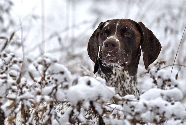 Gsp In Snow German Shorthaired Pointer German Shorthaired