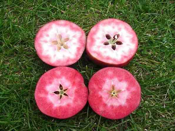 Pendragon Apple, dates back to the 12th century