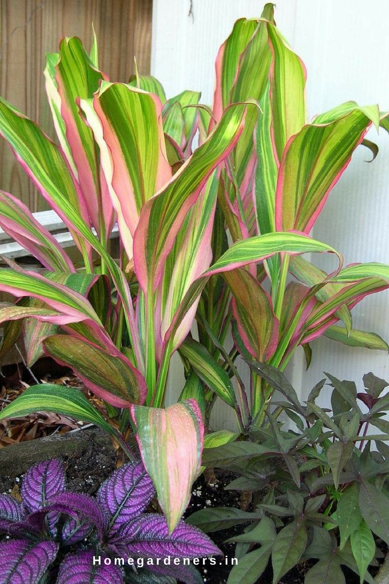Cordyline Plants Are Compatible With True And Regular Varieties These Plants Grow Quickly When Planted With Coleus Dusty Miller Plants Garden Images Ti Plant