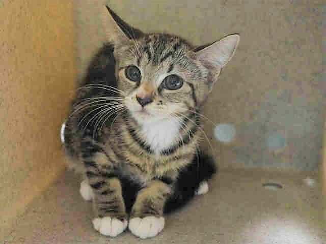 CAPRICORN - A1118393 - - Manhattan  ***TO BE DESTROYED 07/17/17***  ARIES, PISCES AND CAPRICORN ARE HEALTHY GROWN KITTENS WHO NEED SOMEONE TO GIVE THEM A PLACE TO RELAX AND REGROUP!! THESE THREE KITTIES CAME IN FROM A HOARDING GROUP AND ONLY NEED SOME TLC AND SOCIALIZATION.  THEY ARE HEALTHY AND WOULD LOVE TO HAVE A HOME OF THEIR OWN.  MUST RESERVE THEM THROUGH A NEW HOPE RESCUE BY NOON!! CAPRICORN is part of a larger group of cats that came in from same household. Needs a