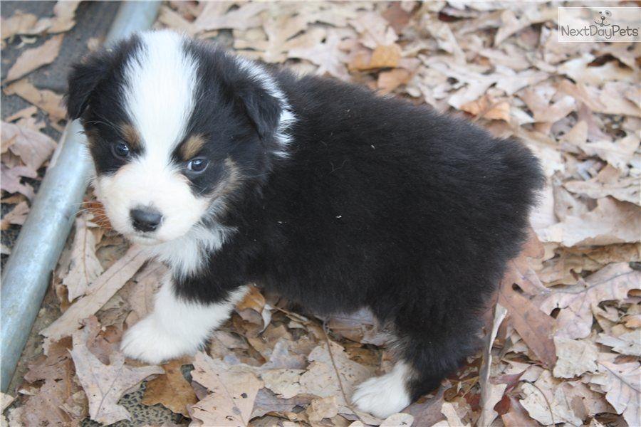 Australian Shepherd Puppy For Sale Female Australian Shepherd 7e8e479f 79c1 Australian Shepherd Aussie Dogs Australian Shepherd Puppy