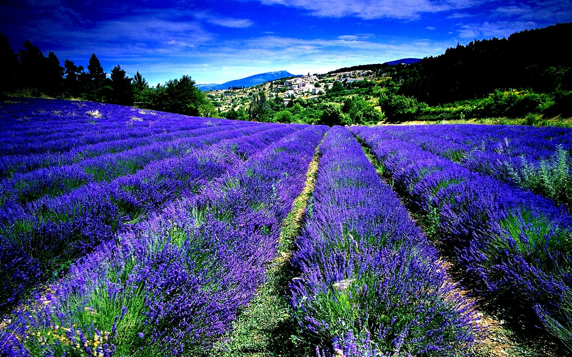 France Lavender Fields [1920 X 1080] Need iPhone 6S