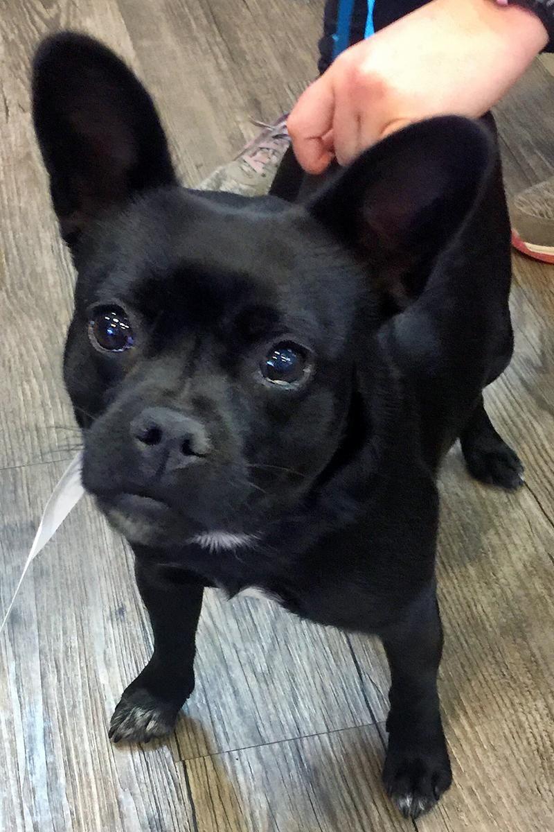 Boston Huahua dog for Adoption in Arlington, VA. ADN