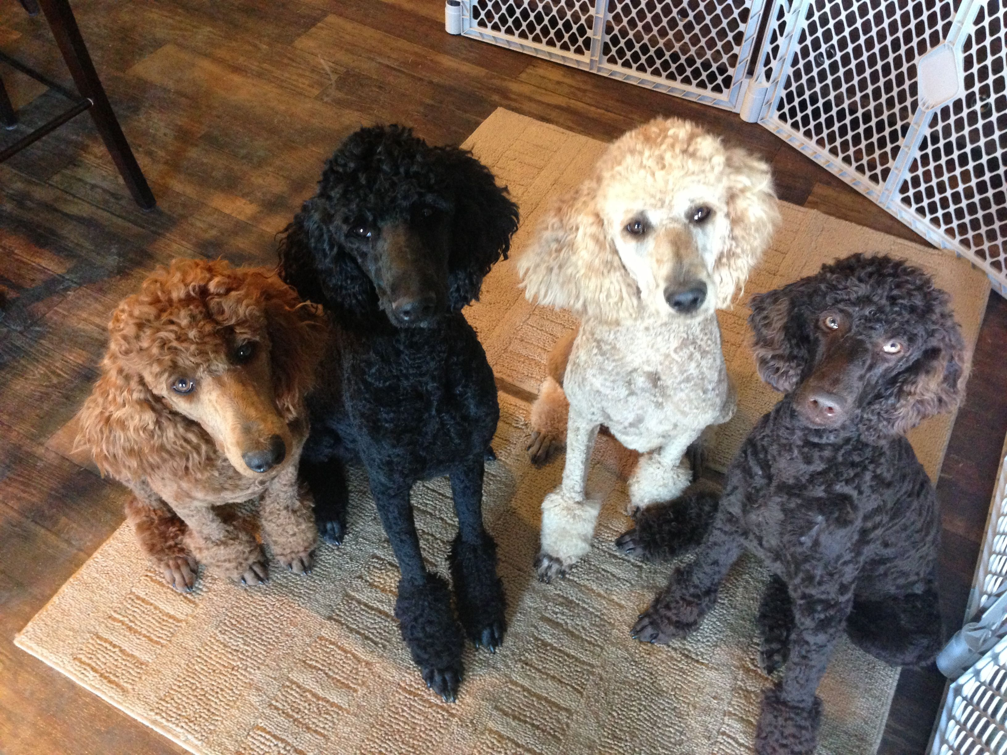 We will wait patiently for a treat Standard poodle