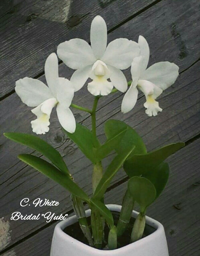 Jual Anggrek Cattleya White Bridal Yuki ,Cattleya dengan
