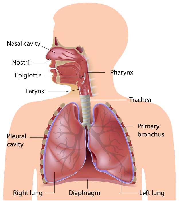 Respiratory system diagram transparent diy enthusiasts wiring human body systems pe theory gcse pinterest human body systems rh pinterest com digestive system transparent digestive system transparent ccuart Images