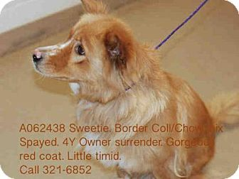 Fayetteville Nc Border Collie Chow Chow Mix Meet Sweetie A Dog For Adoption Http Www Adoptapet Com Pet 13421836 Fayet Pets Dog Adoption Kitten Adoption