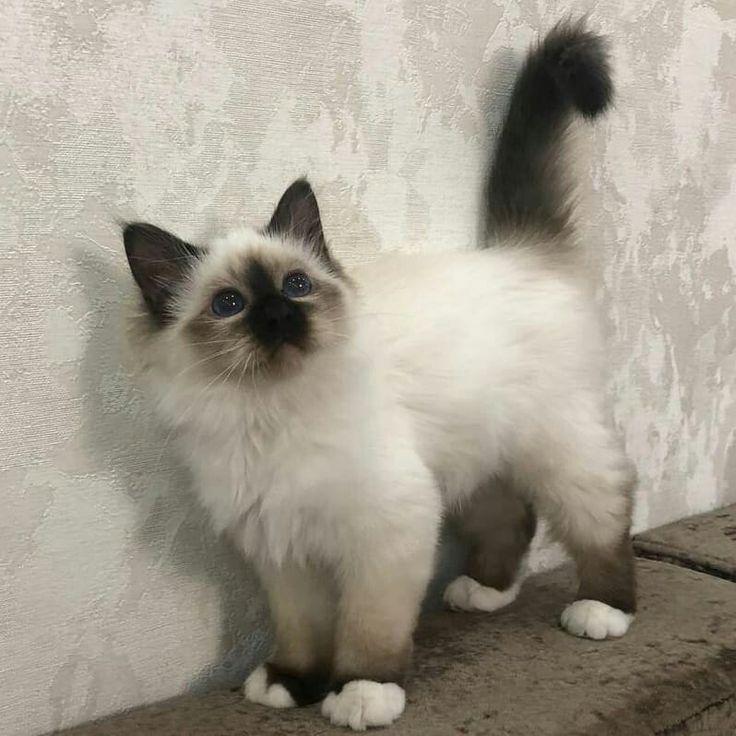 Persian Kitten Fluffy Animals Persian Kittens Persian Kittens For Sale