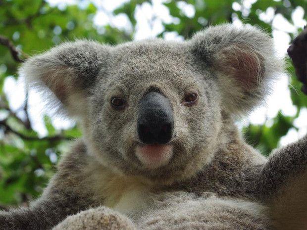 Un Koala Sur L Ile De Magnetic Island En Australie