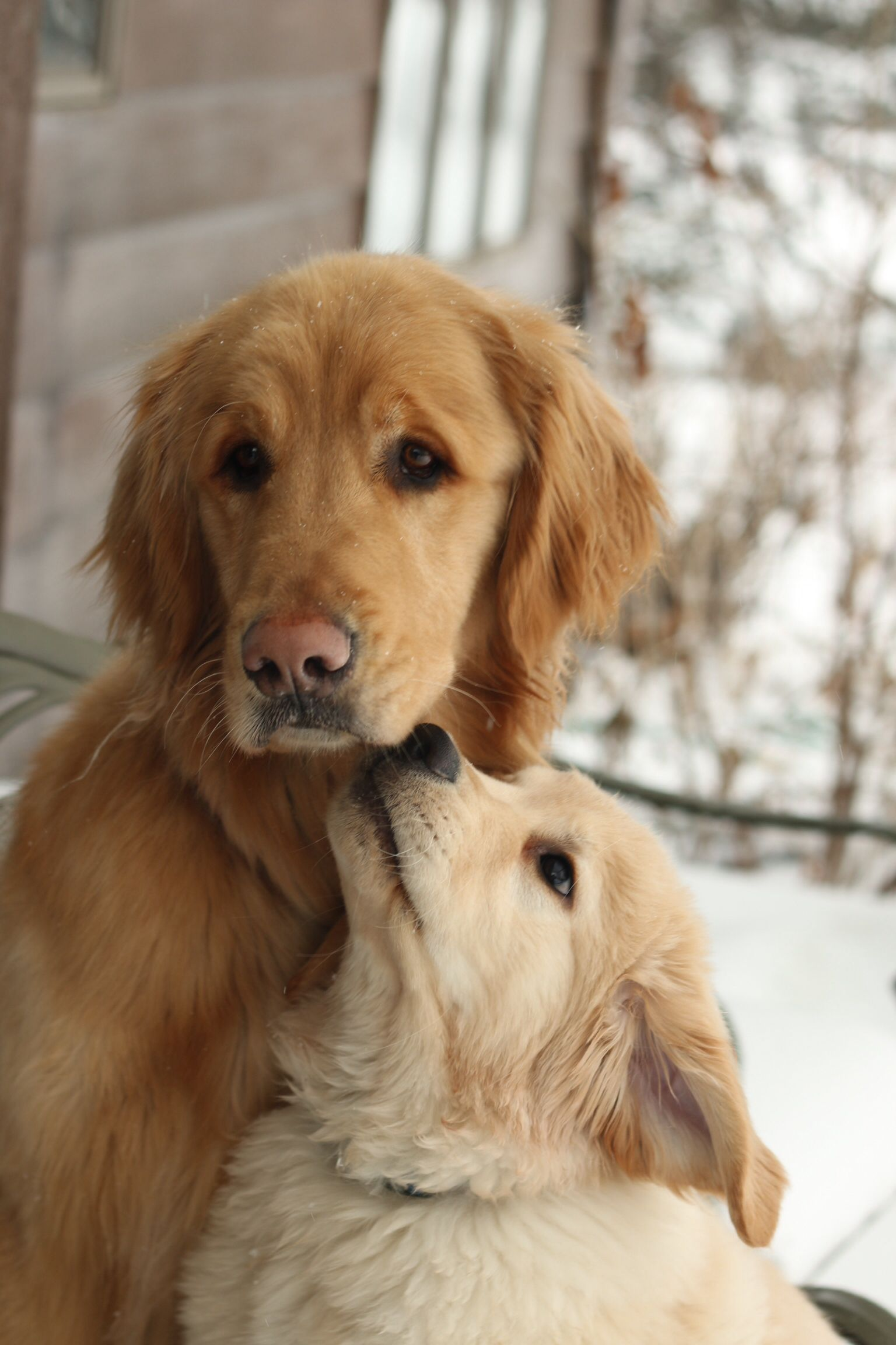 Adoration Golden Retrievers Dogs Golden Retriever Dogs