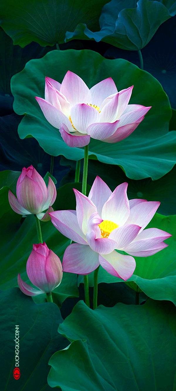 40 Peaceful Lotus Flower Painting Ideas