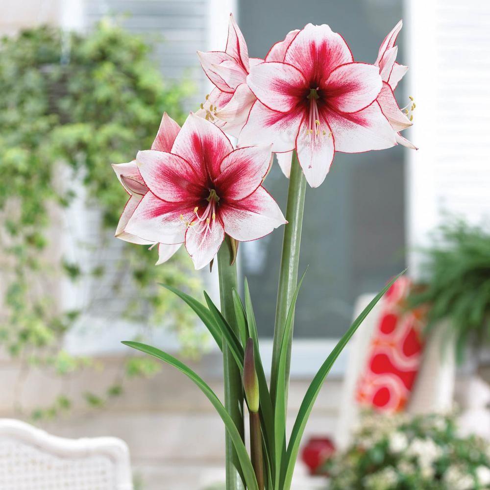 Breck S Temptation Galaxy Amaryllis Hippeastrum Bulb 1 Pack In 2020 Amaryllis Amaryllis Flowers Winter Wedding Flowers