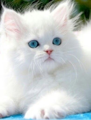 Cute White Kitty With Pretty Blue Eyes Fluffy White Super Cute Adorable Little Kittens Pets We Love To Pamper And Ado In 2020 Pretty Cats Cute Cats Persian Kittens