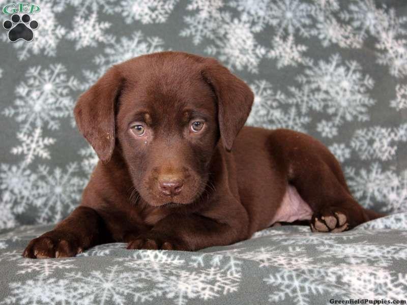 Newborn Chocolate Lab Puppies For Sale Ideas