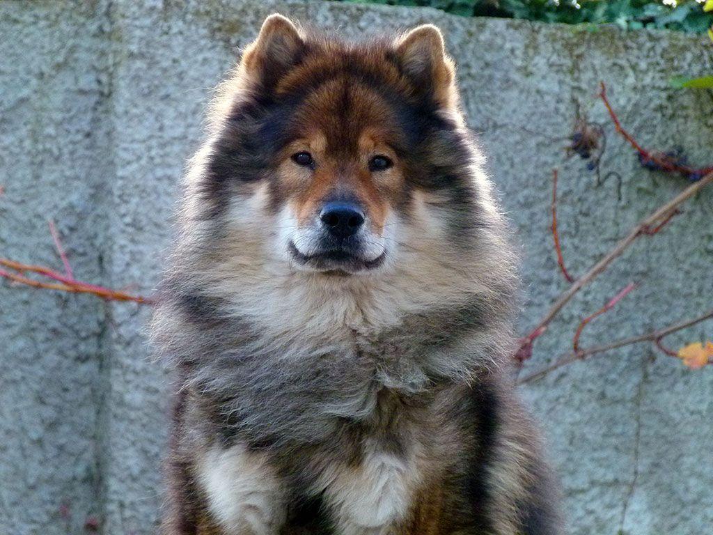 Eurasier Champ Dog Breeds Dog Breeds Medium Eurasier