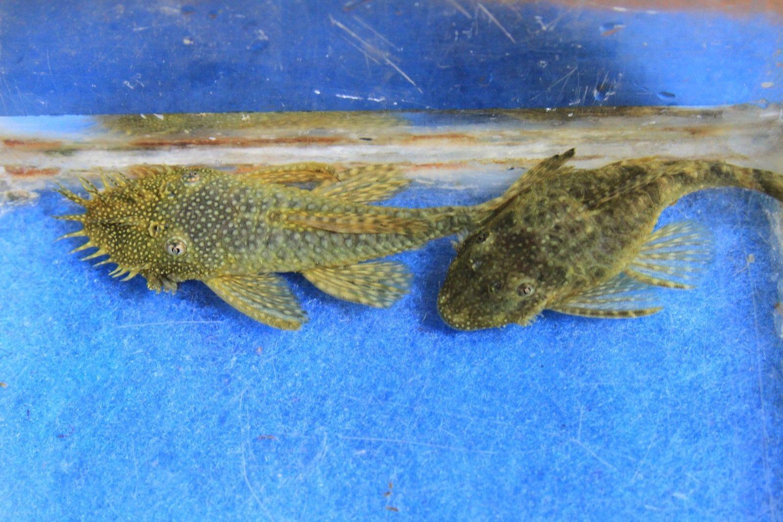 Pin On Ancistrus Catfish
