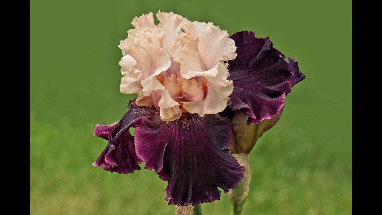 ورود رومانسية للاهداء 154 Romantic Roses For The Romantic Roses Rose Romantic