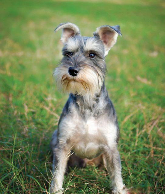 Jax Aka Bad Boy P Schnauzer Puppy Miniature Schnauzer Puppies Schnauzer Grooming
