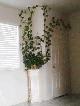 My Golden Pothos Hang Plants From Ceiling House Plants Indoor Climbing Plants Trellis