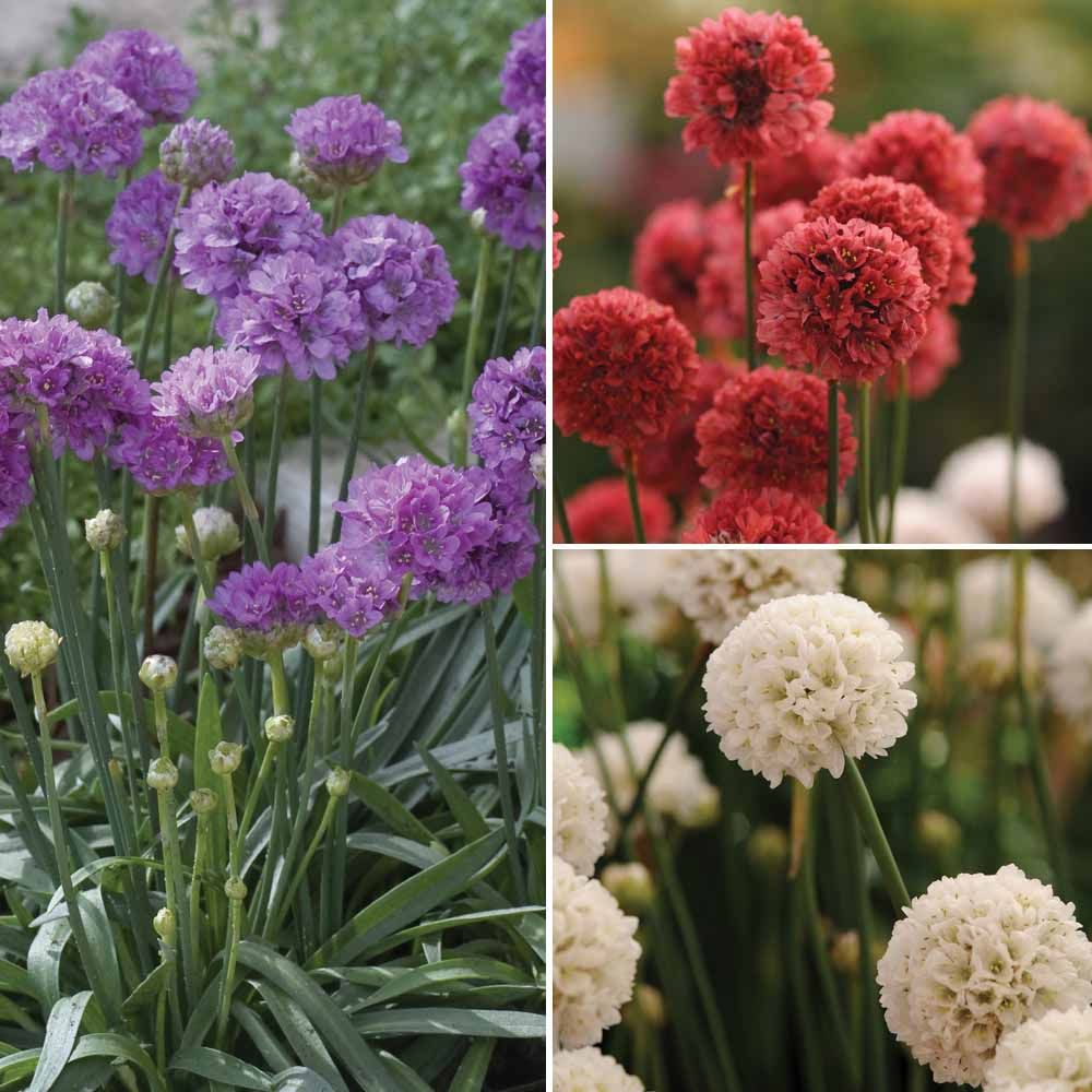 Armeria pseudarmeria 'Ballerina Mixed' | Prior to sowing