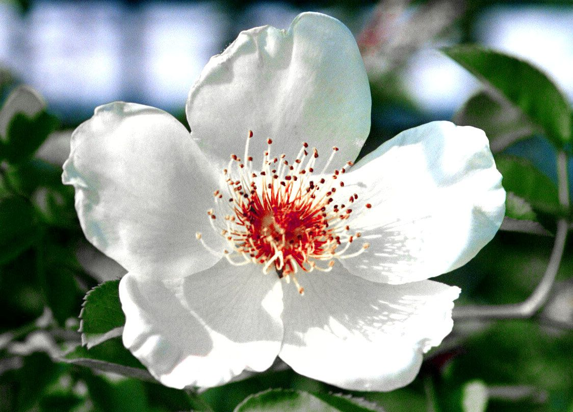 North Carolina State Flower
