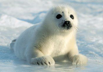 Focas Buscar Con Google Harp Seal Pup Seal Pup Harp Seal