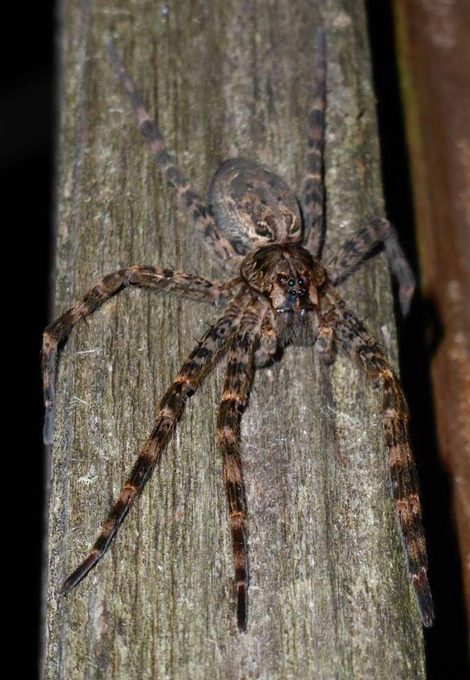 Wolf Spider Michigan Spiders Wolf Spider Spider Spider Bites