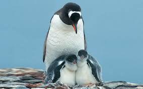 """Résultat de recherche d'images pour """"pingouin"""""""