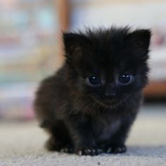 In Memory Of...Shadow, our 5weekold teensytiny black