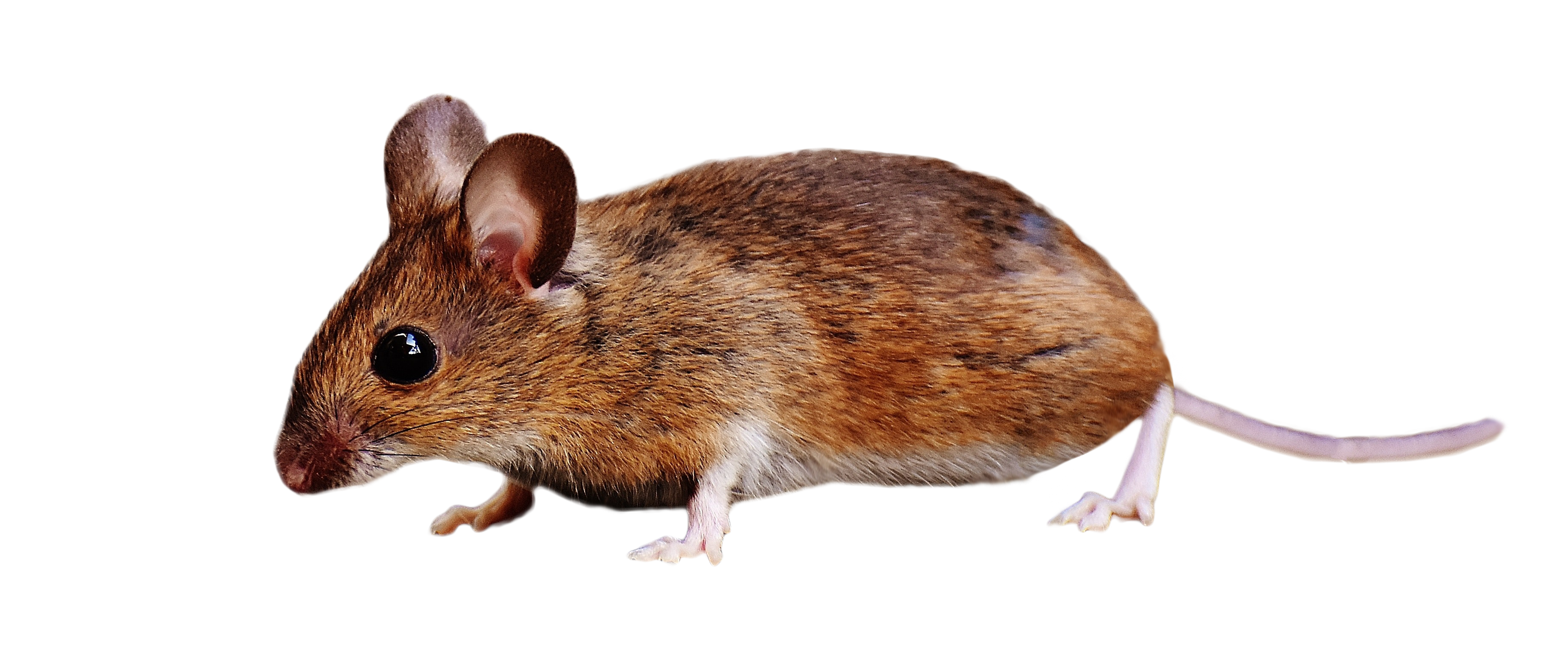 Brown Mouse Standing Png Image Animals Png Images Png