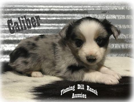 Miniature Australian Shepherd puppy for sale in FORESTBURG, TX  ADN