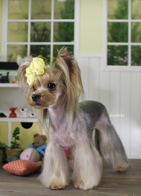 Korean Dog Grooming Style Teacup Yorkshire Terrier Yorkie Yorkshire Terrier Yorkshire Terrier Grooming Yorkshire Terrier Dog