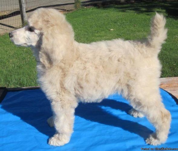 Standard Poodle Puppy Google Search Poodles Poodle Dog