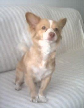 Rita The Alopekis Small Multi Purpose Utility And House Dog Of