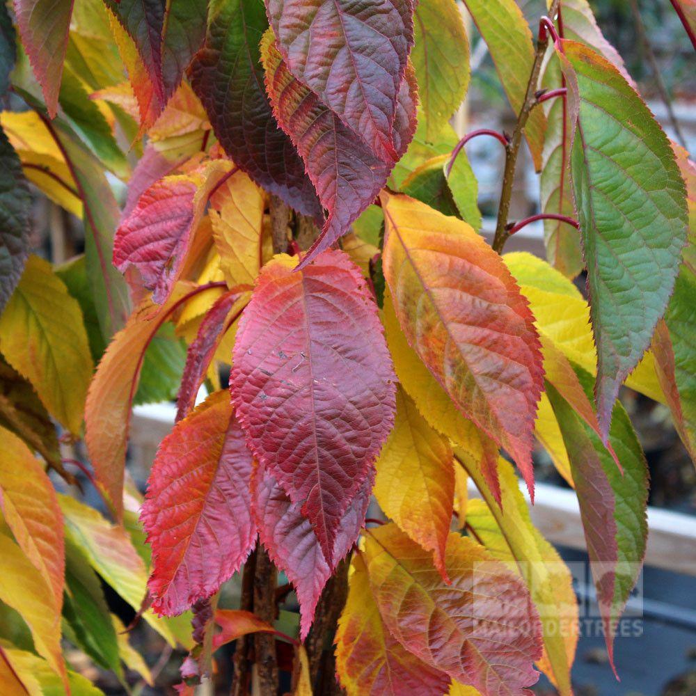 Prunus Amanogawa Japanese Flowering Cherry Tree Flowering Cherry Tree Japanese Flowering Cherry Japanese Cherry Tree