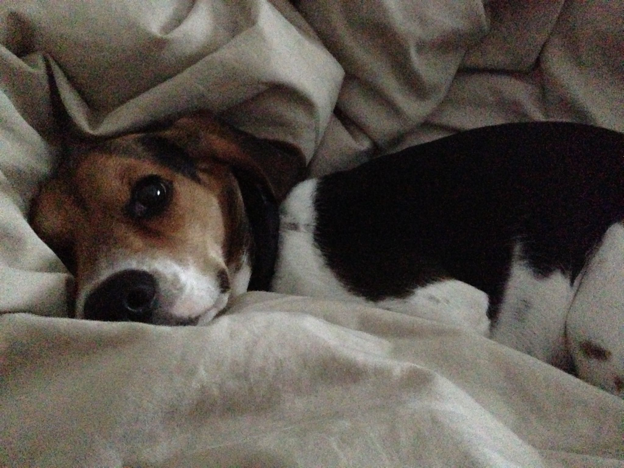 Sleepy Mini Beagle Beagle Mommy Beagle Puppy Beagle Dog Dog