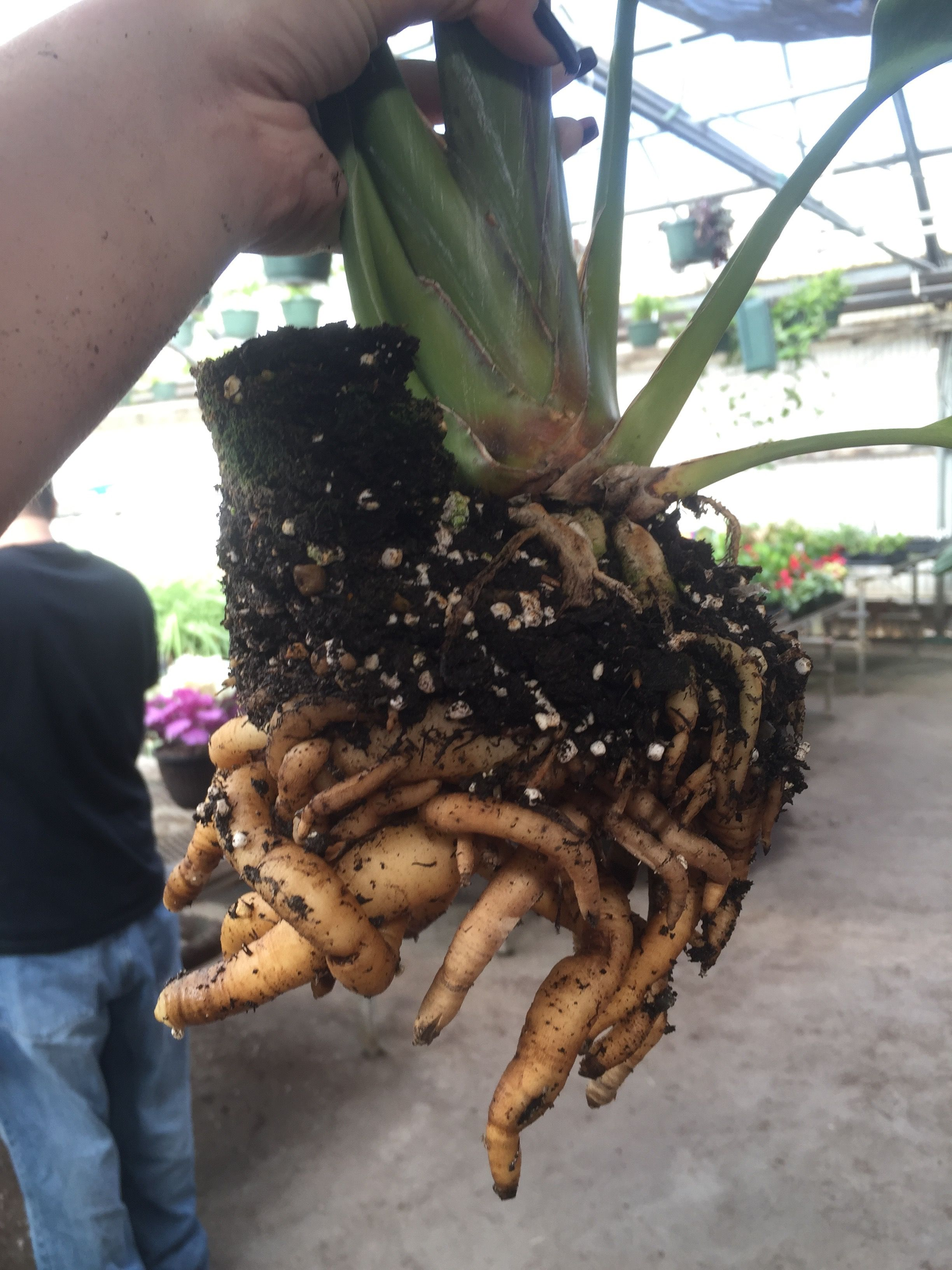 Bird Of Paradise Roots Before Transplanting Tropical Garden Plants Greenhouse Plants Birds Of Paradise Plant