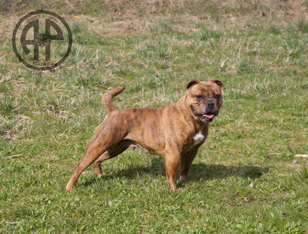 Ap India Continental Bulldog Female Www Asgards Pride Com Old English Bulldog Bulldog Breeds Bulldog