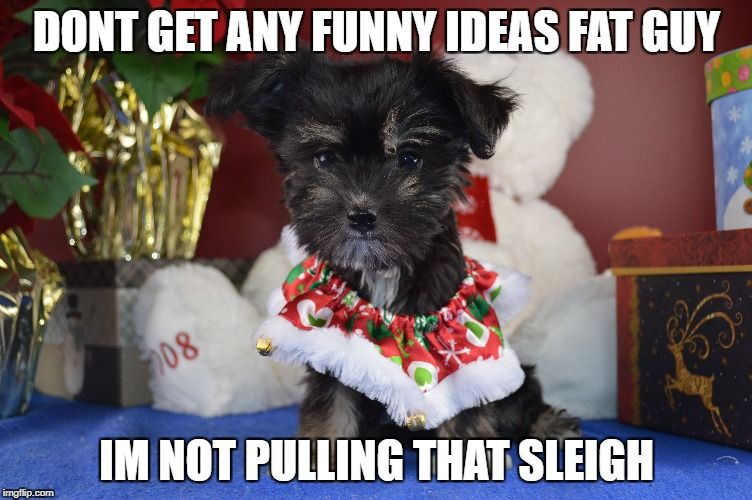 Only 10 Days Left Until Christmas Royalflushhavanese Havanese Puppies Puppiesforsale Crazydogpeople Doglovers C Funny Dog Memes Dog People Cute Puppies
