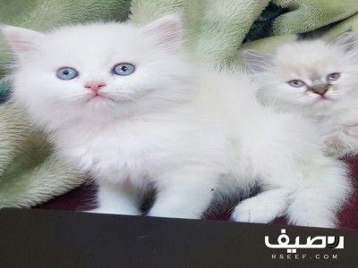قطط شيرازي نظيفه جميلة مشاكسه للبيع Single