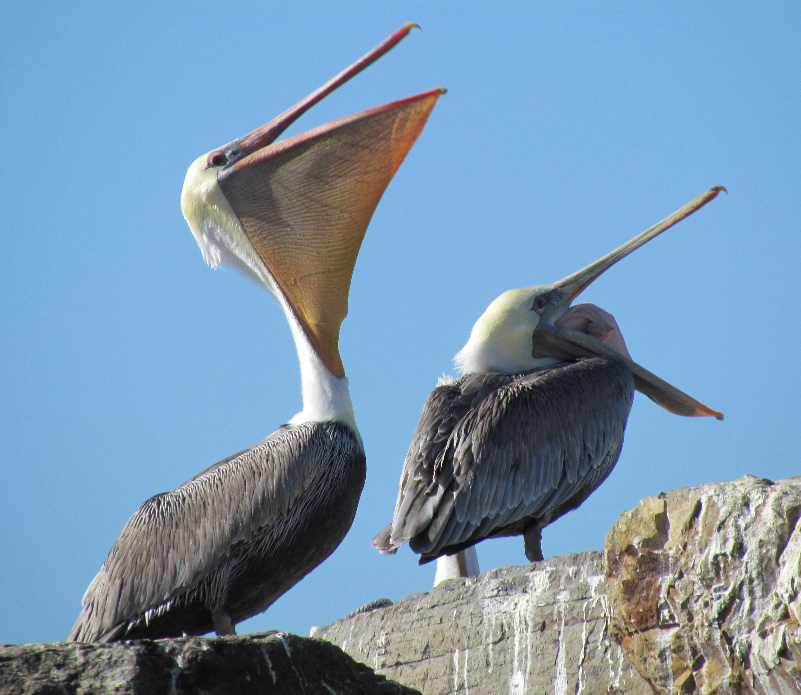 Brown Pelicans at Alameda Point | Golden Gate Audubon Society