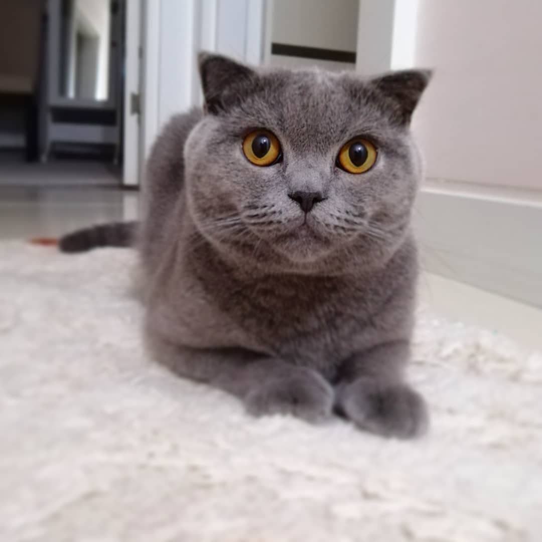 Did You Miss Me I M Growing Up Kitten Catsofinstagram Scottishfold Kitty Paw Catlove Cats Of Instagram Cat Love British Shorthair Scottish Fold