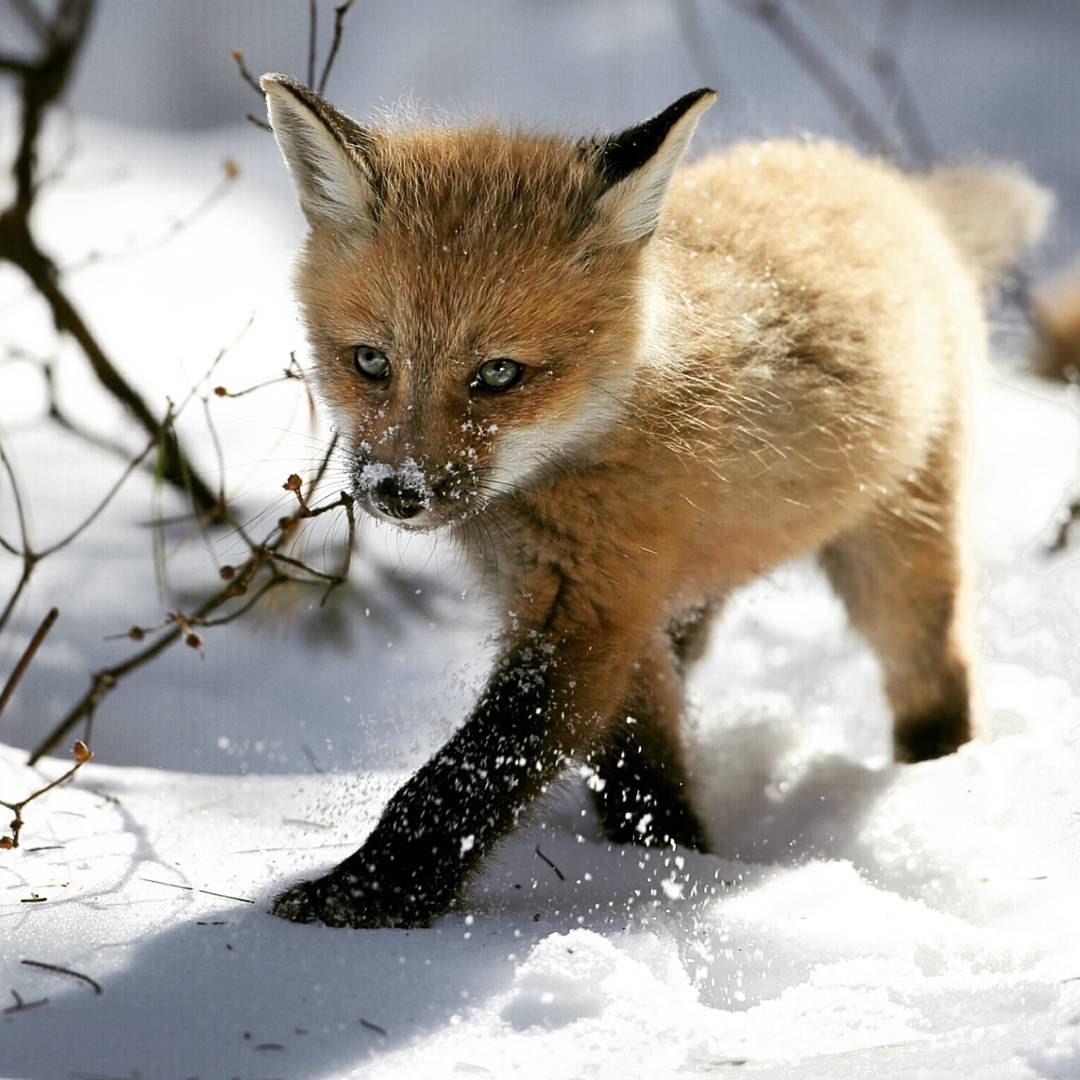 . Baby fox. Photography By (Denis Dumoulin). Baby fox in