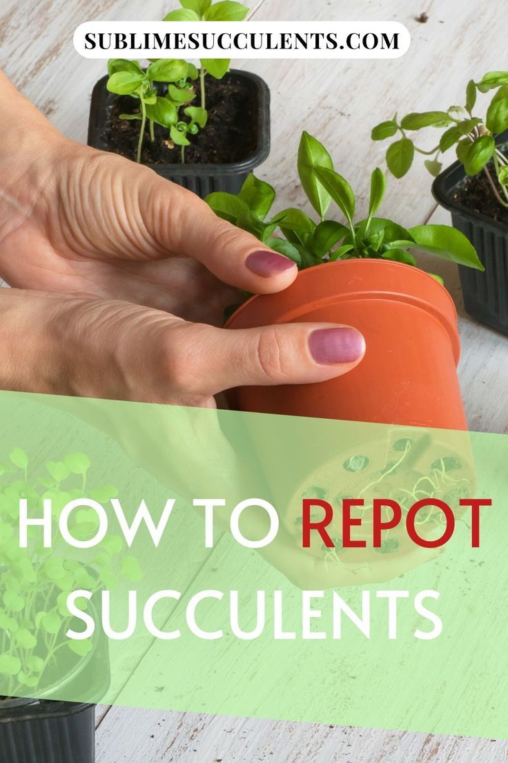 How to repot succulents in 2020 succulents cacti and