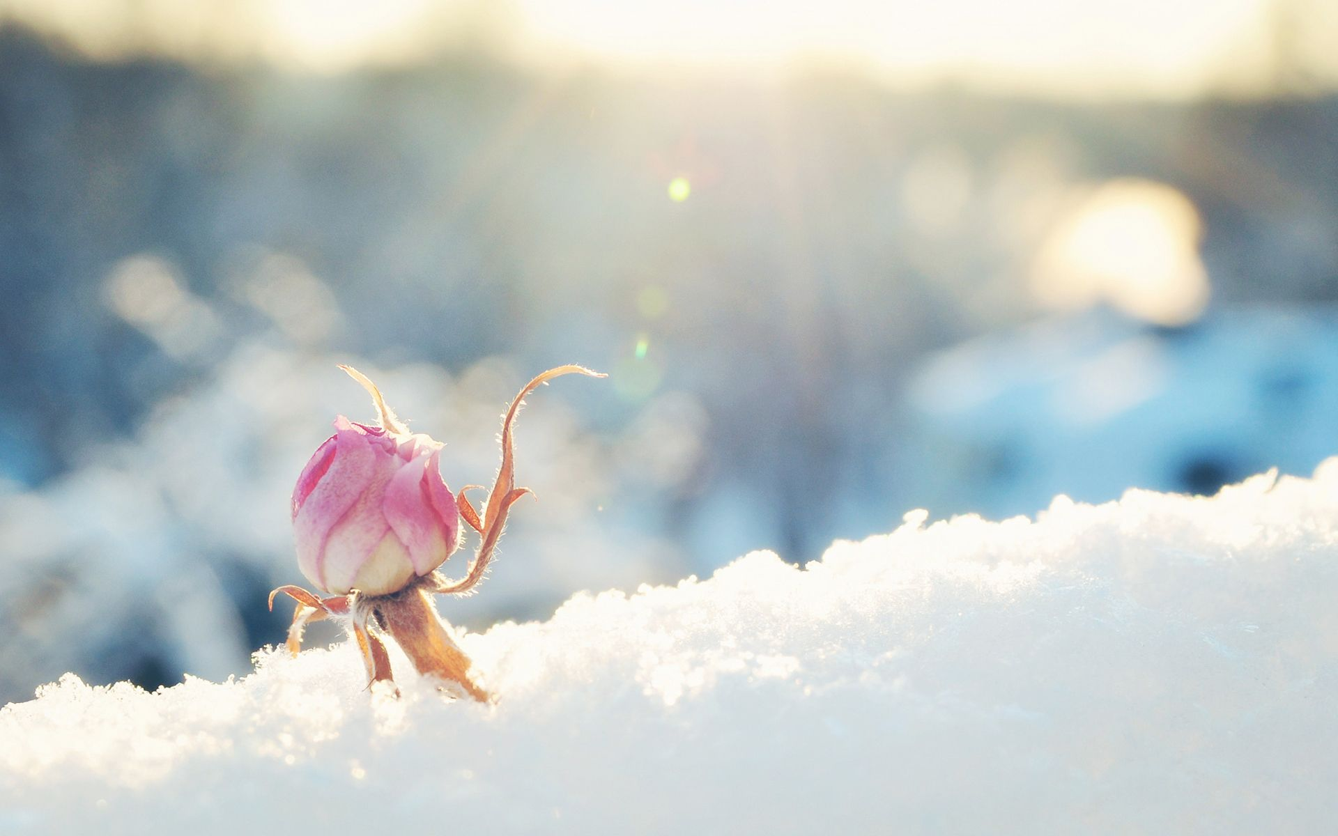 Winter flowers wallpapers pictures flowers pinterest - Rose in snow wallpaper ...