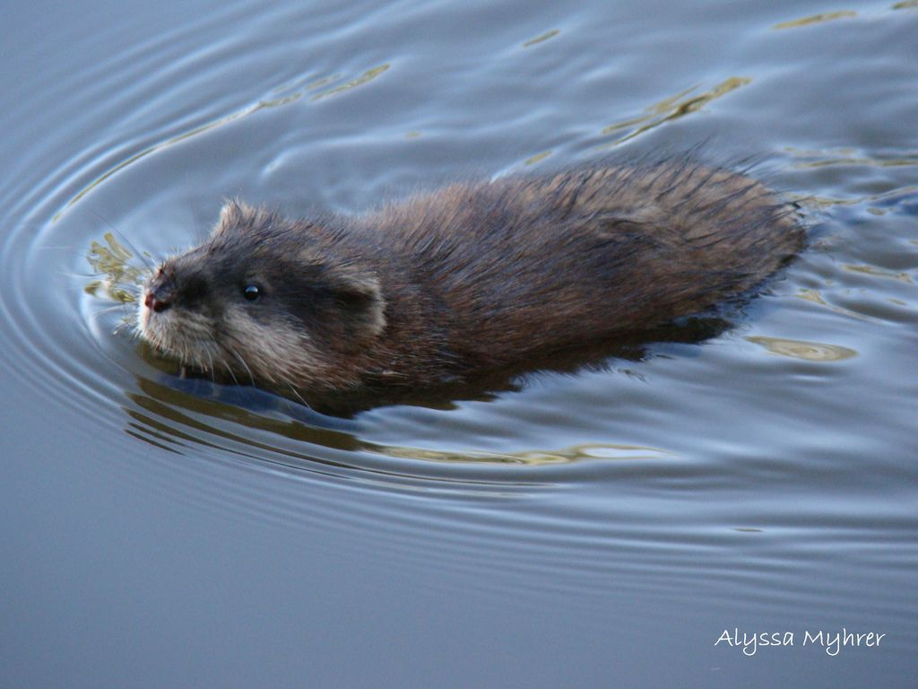 Image Result For Muskrat Swimming Animals Cute Animals Wild Cats
