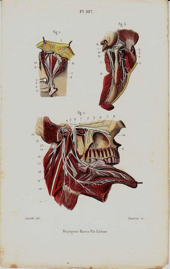 1843 antiguos anatomía impresión lengua dientes cara | partes cuerpo ...