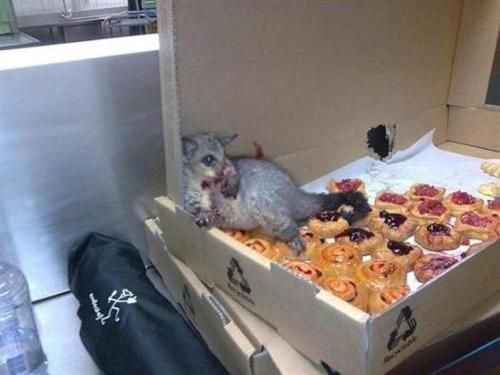 A possum broke into an Australian bakery and ate so many pastries it couldn't move. This is how they found him.   {i've felt like this}