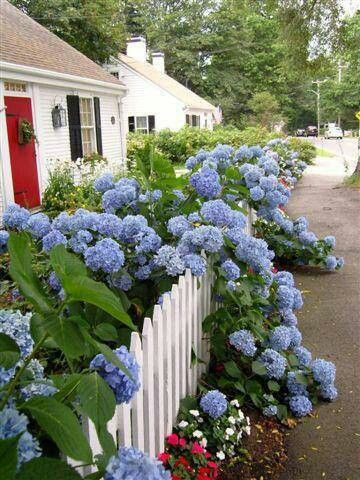 Hydrangeas spilling over a fence at a cottage